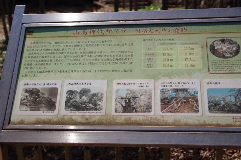 山高神代桜の説明