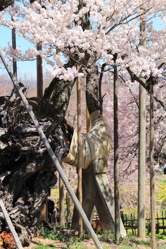 山高神代桜_支柱と桜