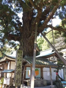 2016-03-22 09.19.47_極楽寺長命杉